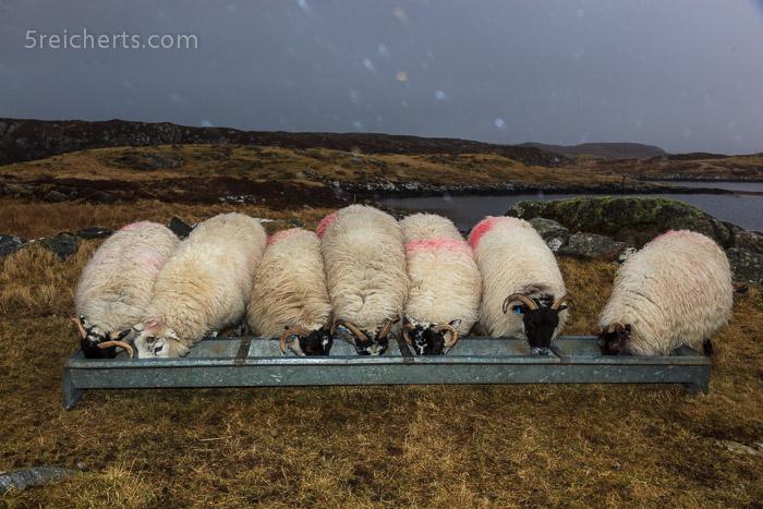 glückliche Schafe bei der Fütterung, es nieselt