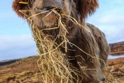 frishes Heu für die schwangere Highland Kuh!