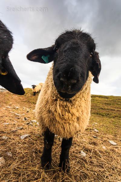 Shaun das Schaf :-), Shetland