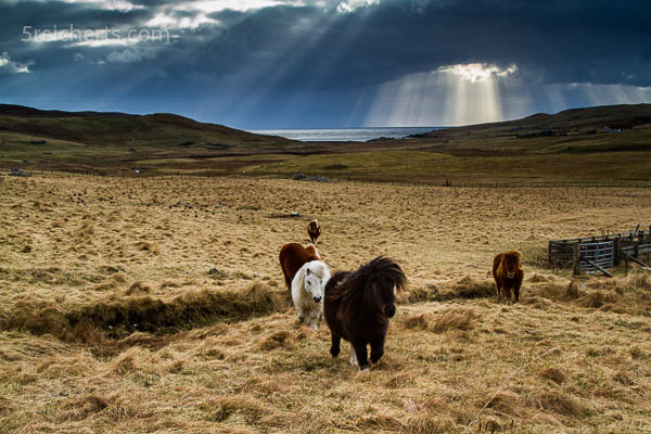 Shetlandponies auf dem Weg zum Knuddeln