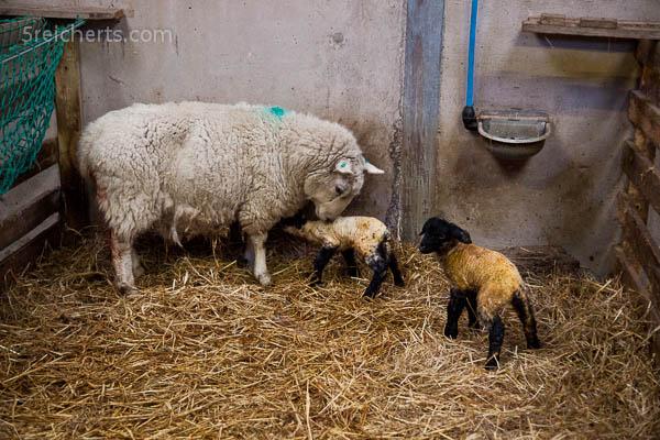 fünf Minuten alte Lämmer, Insel Burra, Shetland