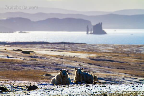 Stacks und Schafe, Eshaness, Shetland