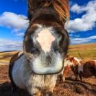 Shetland Pony - so sieht es aus, kurz bevor es mir das Gesicht abschnüffelt.