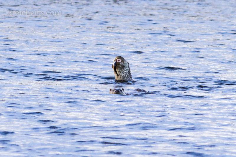 Otter mit Fisch, Shetland
