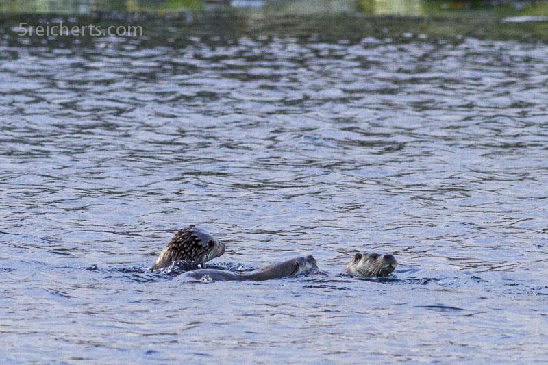Otterfamilie beim Abendessen, Shetland