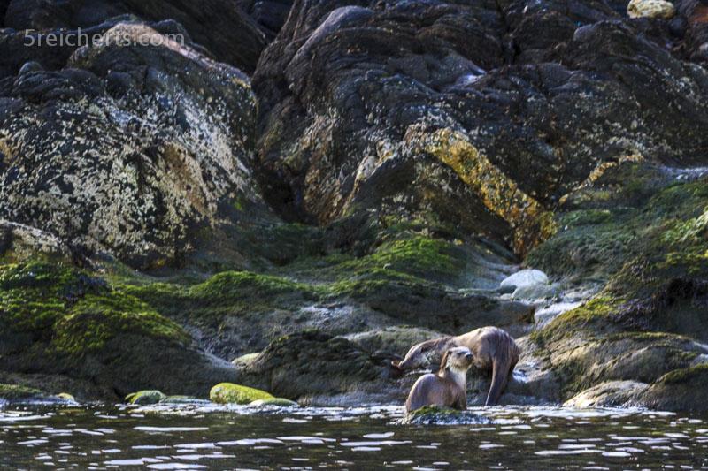 Otter an Land, Shetland
