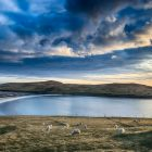 Schafe und Bannaminn Beach, Insel Burra, Shetland