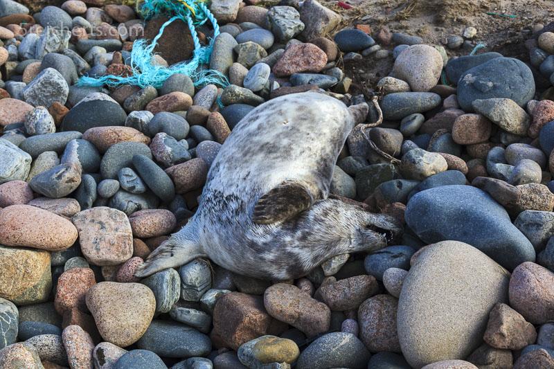 ein erschossene Robbe am Strand, Shetland