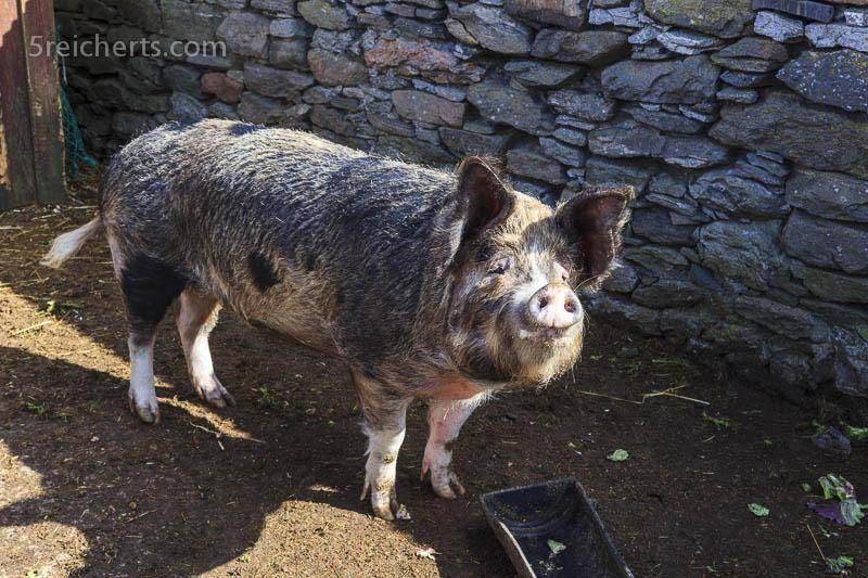 Schwein auf der Burland Croft, Shetland