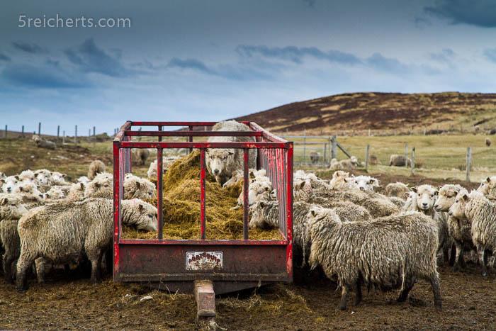 Die Schafe stürzen sich auf das Futter