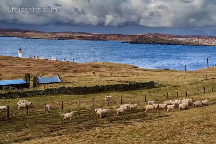 Schafe und Bressay Leuchtturm mit typischen Shetland Wolken