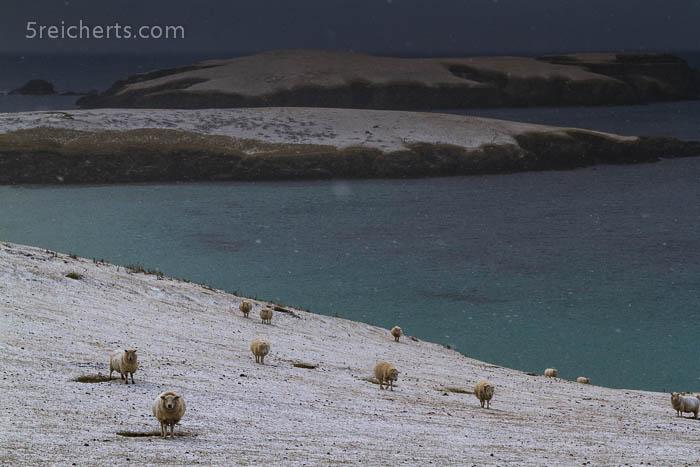 schon liegen die Schafe nicht mehr schneebedeckt auf dem Boden, Shetland
