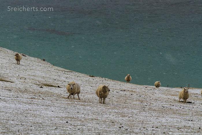 einmal pinkeln, Schafe, Shetland