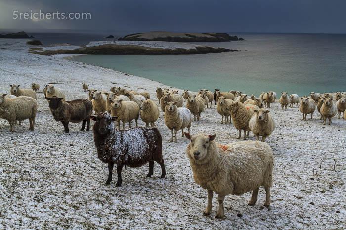 neugierige Schafe, Shetland