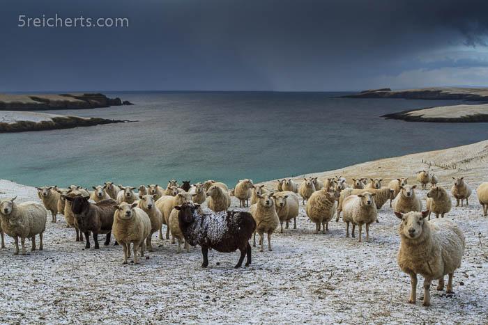 Schafe und Meer mit Schneewolken