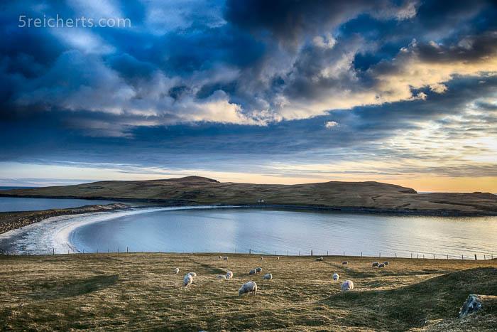 Schafe auf der Insel Burra, Shetland