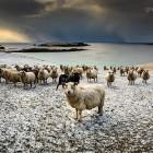 Schafe im Schnee, Shetlands