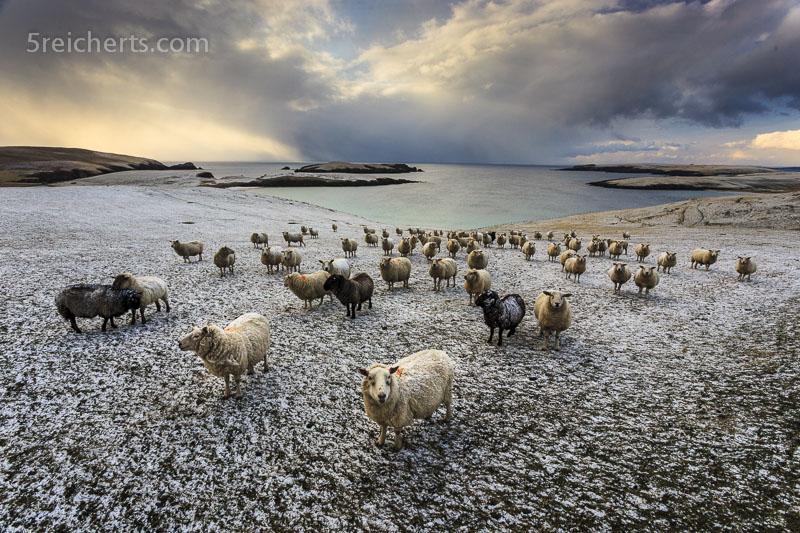 Schafe nocheinmal mit Superweitwinkel aufgenommen