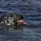 Robbe beim Lunch, Lerwick, Shetland