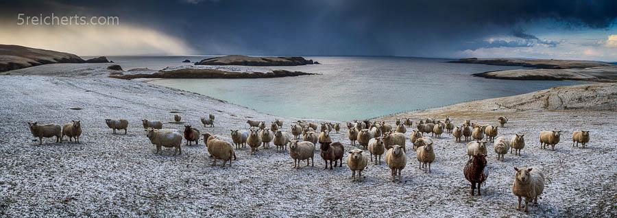 Schafe und Blick aufs Meer, Shetland