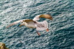 Eissturmvogel, Bressay, Shetland