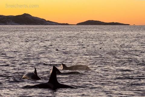 Eine Orca Familie im Tysfjord