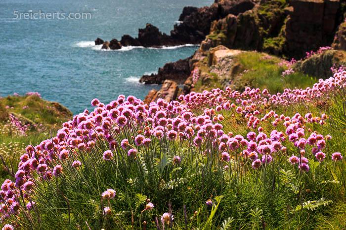 Strandgrasnelken, Schottland