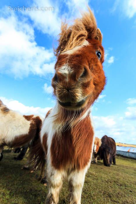schau mir in die Augen..., Shetland Pony