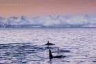 Orcas in Norwegen