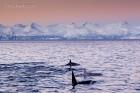 Orcas im winterlichen Licht, Norwegen