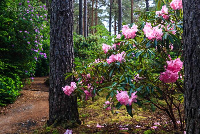 Rododentron, Schottland