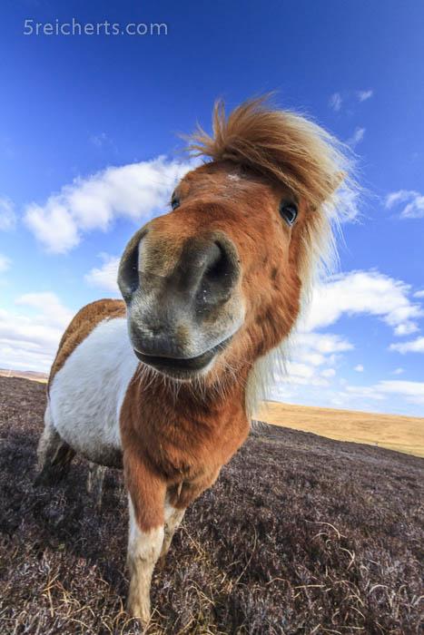 treues Shetland Pony