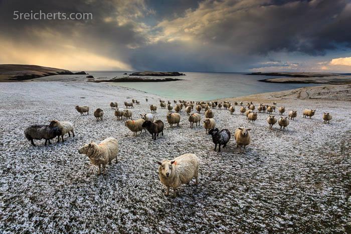 Schafe und Schneewolken, Shetland