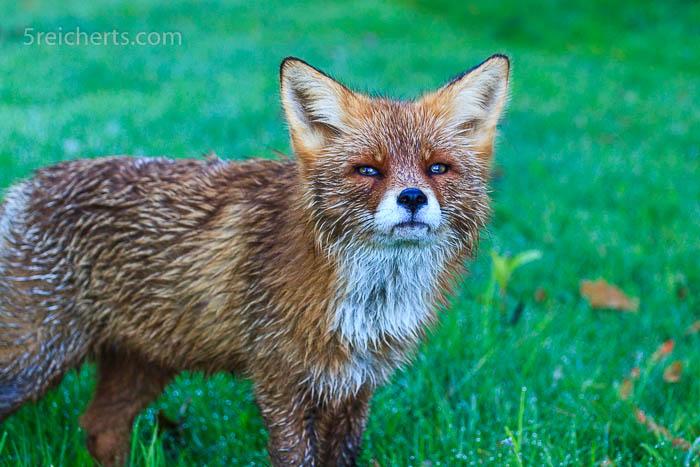 """""""Wie riechst denn Du?"""" Der Fuchs ist noch nass vom Gras, Lofoten, Norwegen"""