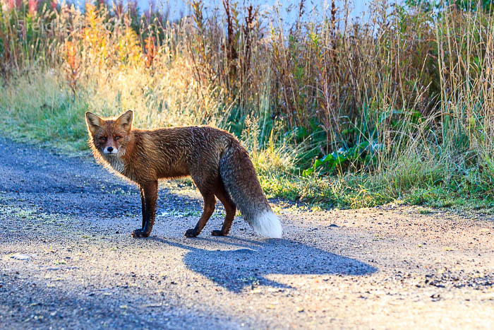 """""""Ja, komm doch mit...."""" - der Fuchs wartet auf mich und wir gehen gemeinsam spazieren"""