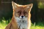 Mittags war der Fuchs dann endlich trocken