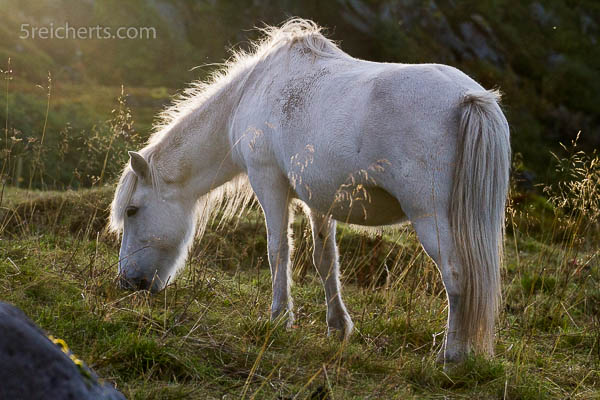 Islandpferd in Hov