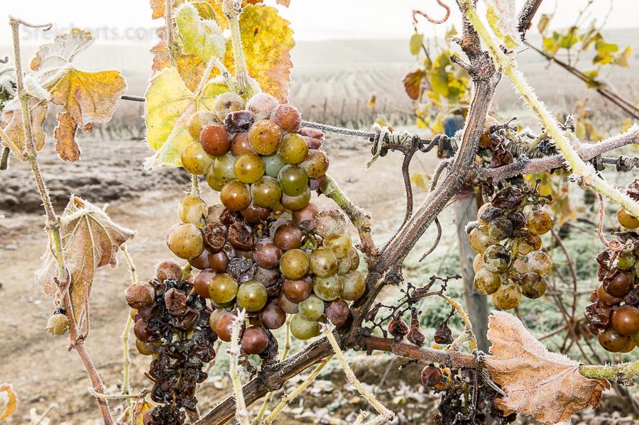 Weintraube im Winter