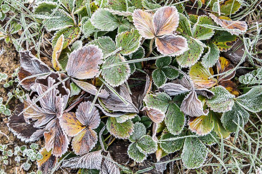 Frost auf den Erdbeeren