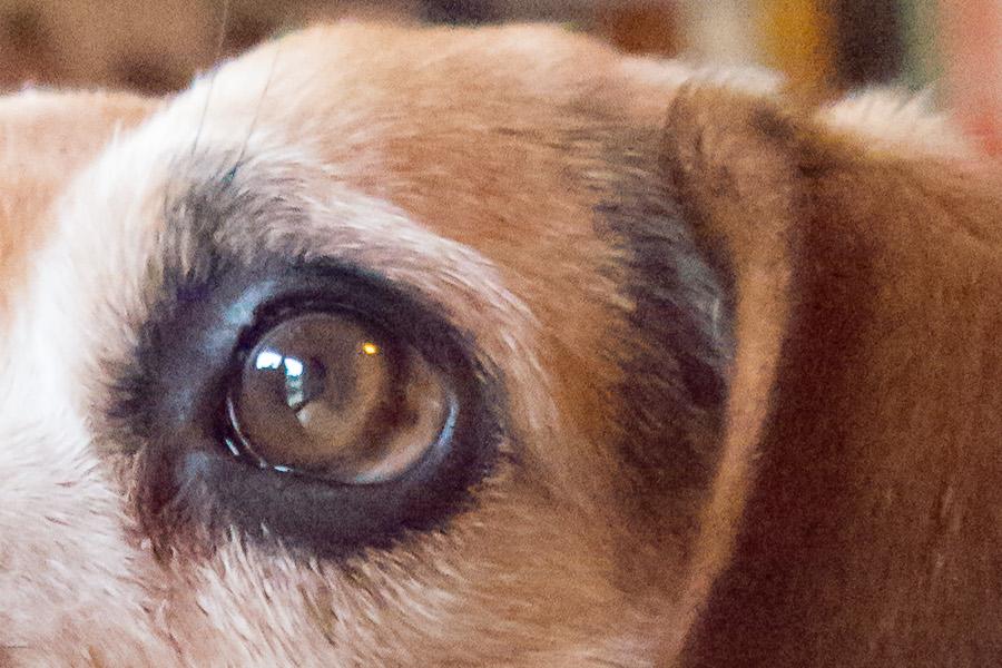 Lucky Beagle LR Ausschnitt