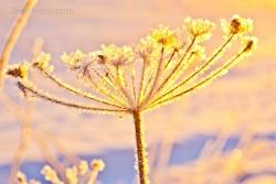 winterliche Pflanze im Licht, Schweden