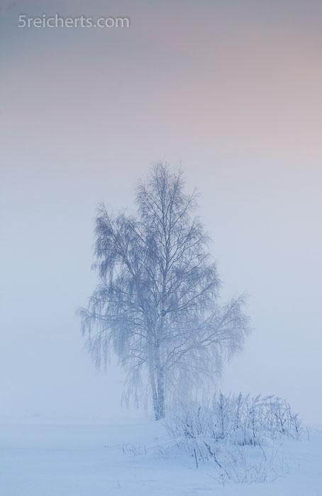 Birke im Nebel, Schweden