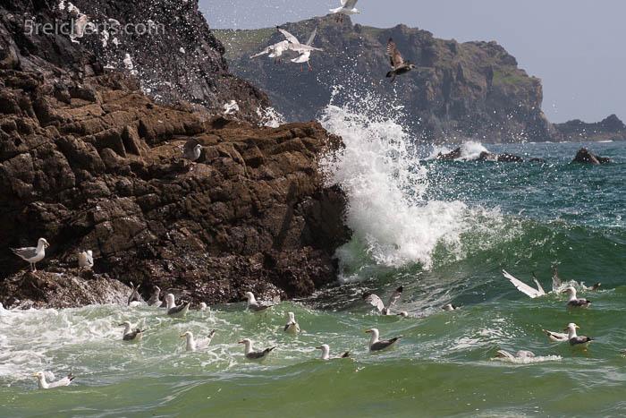 Möwen fischen in den Wellen, Kynance Cove, Lizard