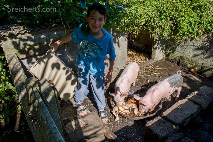Schweine füttern auf Henrys Farm
