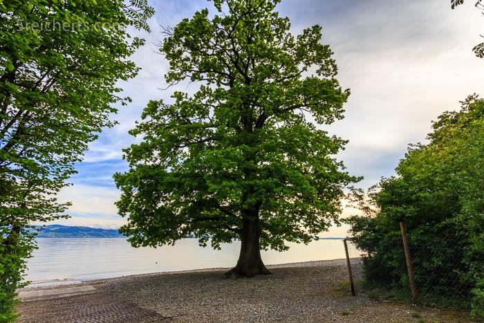 Eiche am Kieselstrand des Bodensees