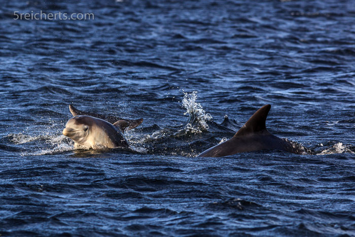 Ein drei Wochen altes Delfinbaby an Strand von Channonry