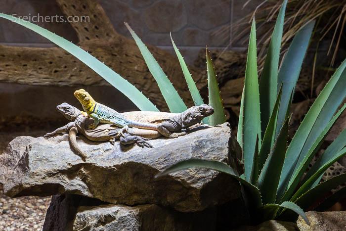 Madagaskar Leguane