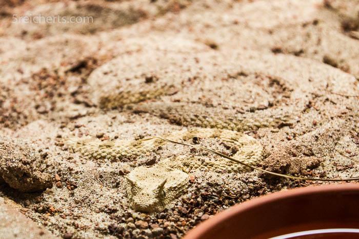 Vergrabene Hornschlange