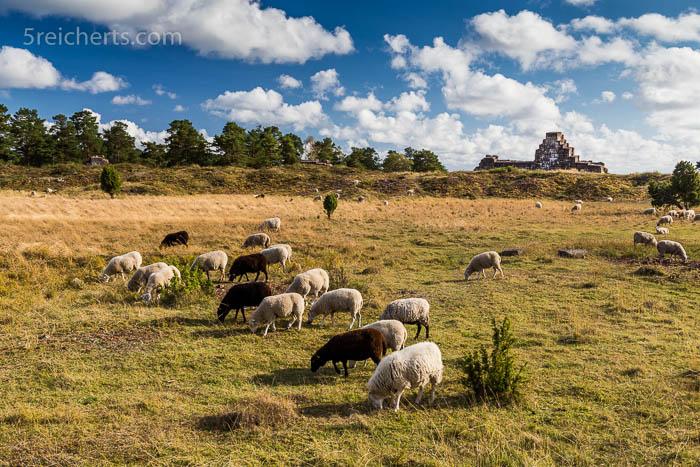 Schafe in Bomarsund