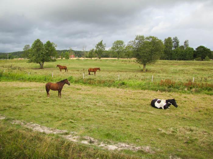 Ein Kuh-Pferd!